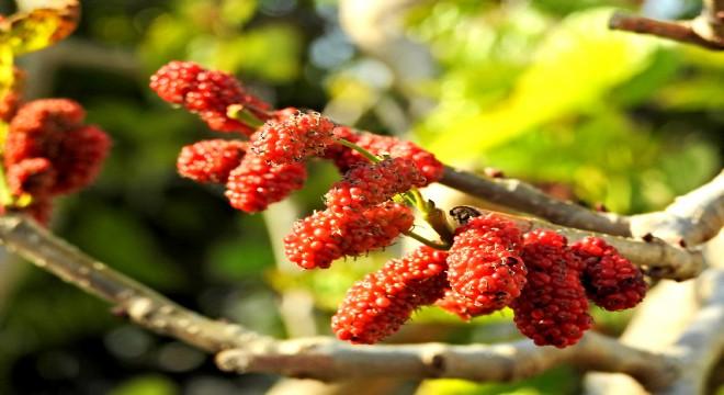 Alaçatı'da dut ağacı kış ortasında meyve verdi