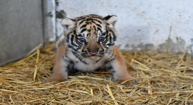 İzmir Doğal Yaşam Parkı'nda yavru aslan ve kaplan heyecanı